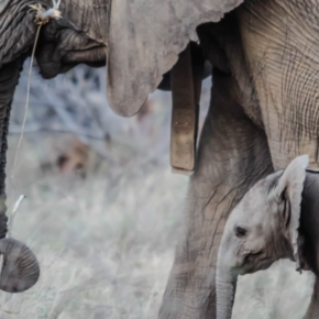 The forgotten art of remembering: what modern leaders can learn from elephants